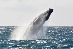 15-Whale-Watching-II-181